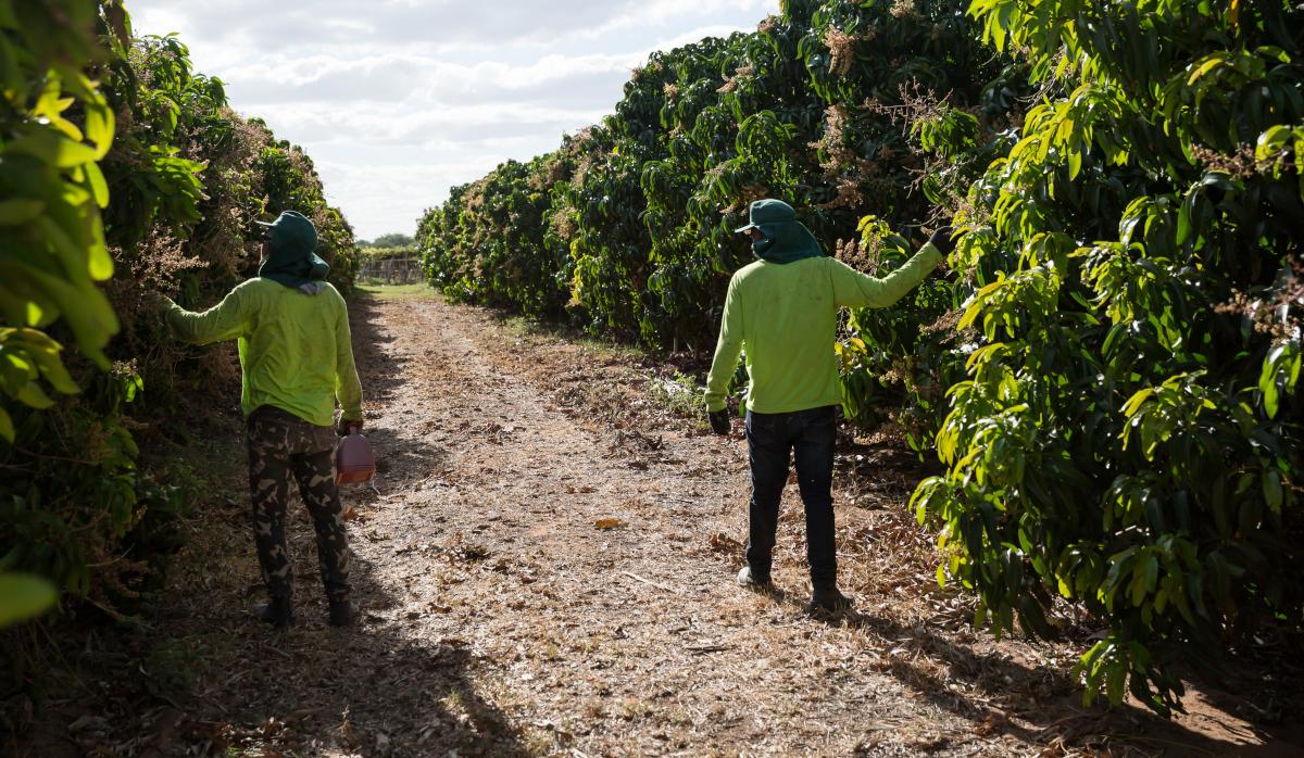 Trabalhadores em plantação de manga na Bahia.